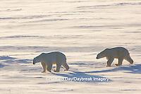 01874-14301 Polar Bears (Ursus maritimus)  in Cape Churchill Wapusk National Park,  Churchill, MB Canada