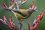 Being a nectar feeder or honeyeater, a male Bellbird seen here feeding on Flax flowers, will also readily eat fruit and insects..Named because of its bell like song, that can sound similar to that of the Tui, the Bellbird is an endemic New Zealand passerine that can be found throughout the native forested areas of the country, though in smaller numbers north of Taupo.