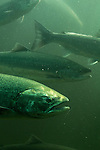 Chinook salmon, Oncorhynchus tshawytscha, returning salmon, fish window, Seattle locks, Seattle, Ballard, Hiram Chittenden Locks, Lake Washington Ship Canal, Army Corps of Engineers, Puget Sound, Pacific Northwest, United States, Washington State, tourist destination,