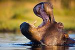 Hippopotamus (Hippopotamus amphibius) in water, yawning, close-up, Moremi Game Reserve, Okavango Delta, Botswana