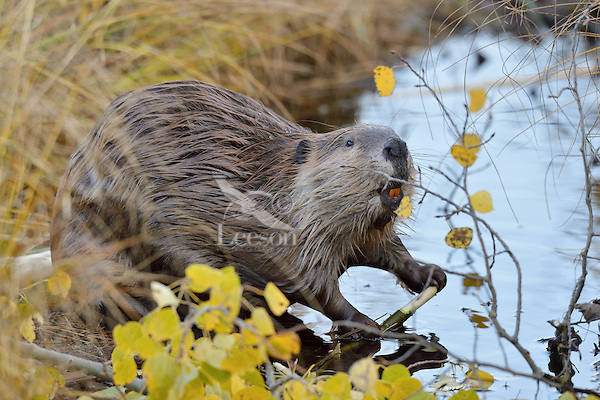 North American Beaver (Castor canadensis) eating bark off aspen tree limb.  Northern Rockies,  Fall.