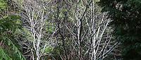 Light gray bark and branches on deciduous tree California Vine Maple (Acer circinatum) in native plant garden