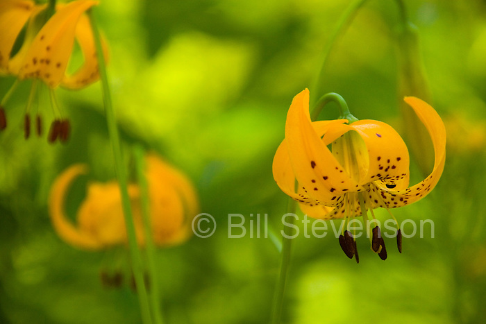 A Tiger Lily (lilium parvum) flower in Rock Creek Canyon in California