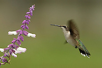 Black-chinned Hummingbird (Archilochus alexandri) and Purple Sage flower.