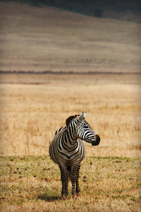 A lone zebra looks around to see where the rest of the herd went.