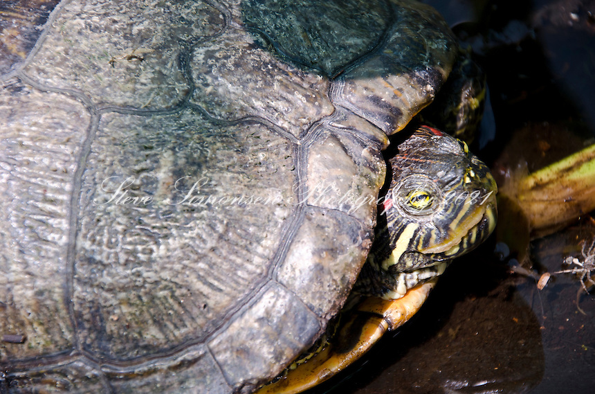 Tortoise at The Vieques Conservation and Historical Trust