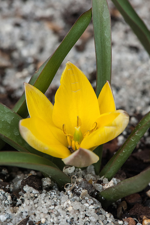 Tulipa urumiensis 'Tity's Star', mid March.