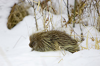 Porcupine walking along the snow covered ground