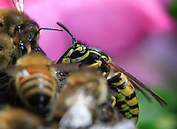 On the flight board, bees confront a wasp. Finally, after trying its luck at the entrance of the bee hive, the predator did not engage in a fight with the guards.