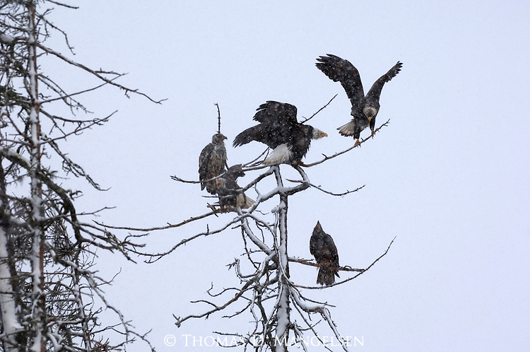 Bald eagles perched in a tree in Homer, Alaska.