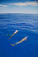 Pantropical Spotted Dolphin spouting, Stenella attenuata, off Kona Coast, Big Island, Hawaii, Pacific Ocean.