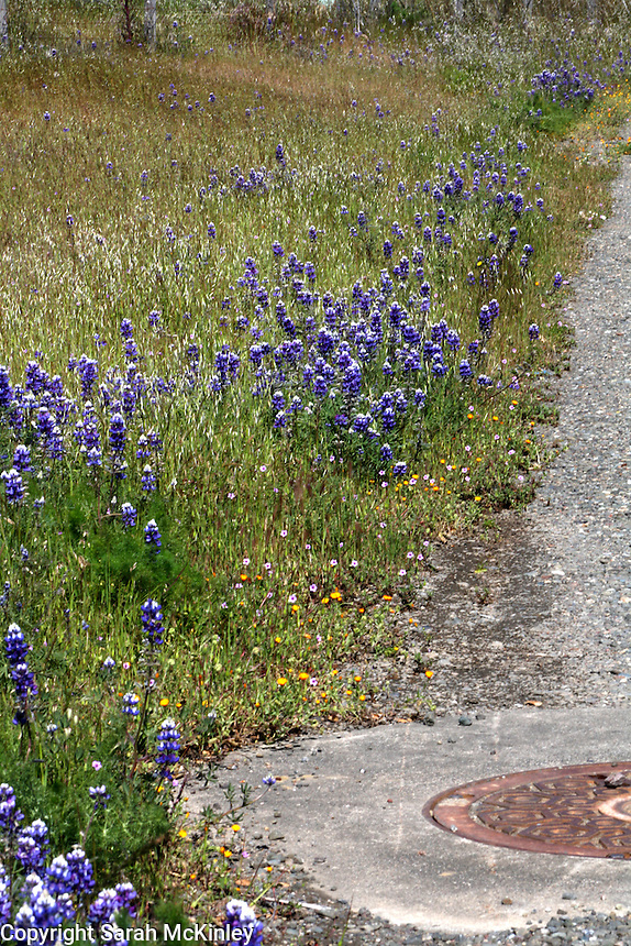 Lupine grwoing along a stretch of road in Asti in Sonoma County in Northern California.