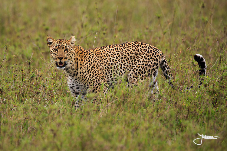 Leopard in Serengeti