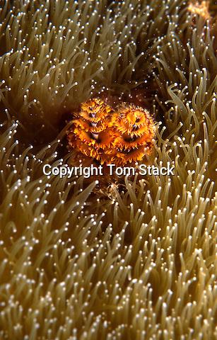 Christmas Tree Worm in Pillar Coral, Florida Keys