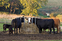 Cows and calves eat at a hay trough cattlefeeder at Sheepdrove Organic Farm, Lambourn, England