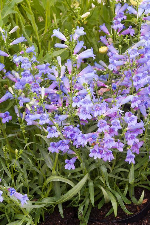 Penstemon heterophyllus 'Blue Spring'