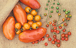 Super Marzano variety of Teardrop and Spoon Tomatoes ,Lycopersicon esculentum,.