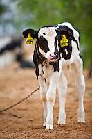 Inhauma_MG, Brasil...Gestao no campo na Fazenda Sao Joao. A fazenda e a terceira maior produtora de leite do Brasil, com 15 milhoes de litros por ano. A primeira em MG. Tem 1.170 hecatres, e capacidade de armazenagem para 22 mil toneladas de alimentos para o gado em Inhauma, Minas Gerais. Na foto um bezerro...Field management in the iSao Joao Farm. The farm and the third largest producer of milk in Brazil, with 15 million gallons per year. The first in MG. 1170 has hecatres, and storage capacity to 22 million tons of food for cattle in Inhauma, Minas Gerais. In this photo a calf...Foto: JOAO MARCOS ROSA / NITRO..