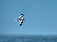 Sabine's Gull - Larus sabini - summer adult