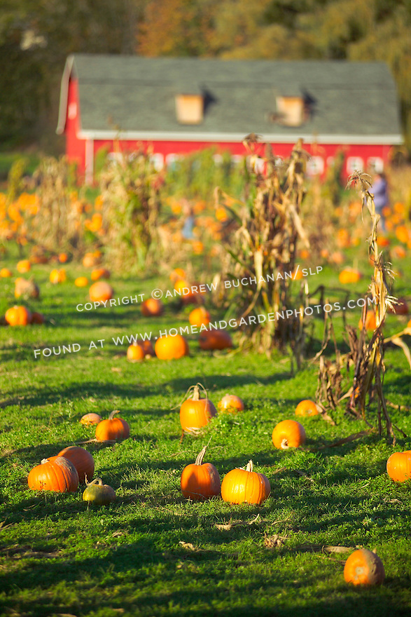 Distant people check out pumpkins in the late afternoon autumn sunlight as it streaks across this large pumpkin patch which is backed by a classic red-painted barn and hillsides of evergreen and deciduous trees on a farm in western Washington state.