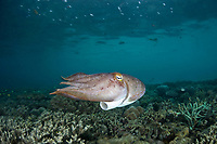 A female Broadclub cuttlefish, Sepia latimanus, uses its large siphon to jet across the shallow reef where she is laying a clutch of eggs. Waigeo Island, Raja Ampat, Papua, Indonesia, Pacific Ocean