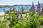 Lupines at Green Head in Stonington, Maine, USA