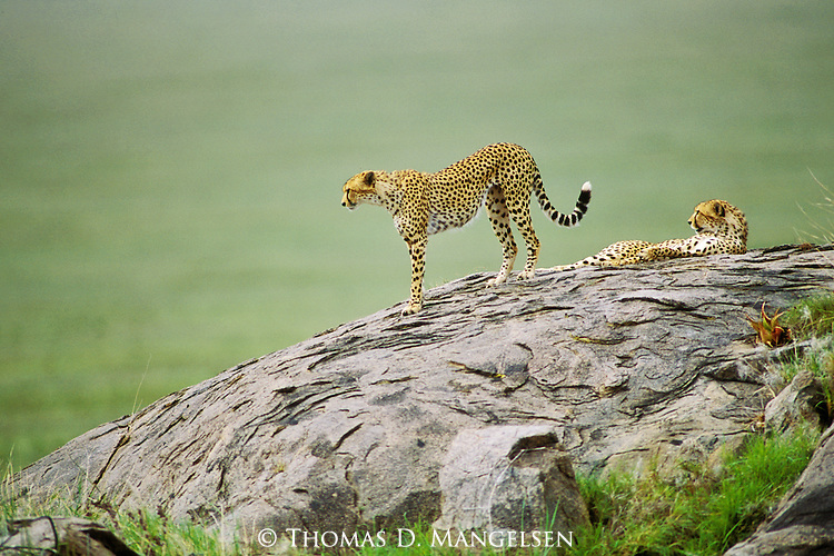 Two cheetahs wait on a large rock for prey to hunt.