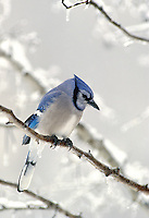 Blue Jay, Cyanocitta cristata, winters over in the snow and ice, Midwest USA