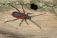 Purpurbock, Purpurbockkäfer, Purpur-Bockkäfer, Purpur-Bock,  Blutbock, Purpuricenus kaehleri, Long-horned beetle, Purpuricène de Kaehler