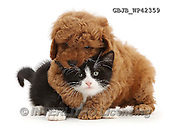 Kim, ANIMALS, REALISTISCHE TIERE, ANIMALES REALISTICOS, fondless, photos,+F1b toy Cavapoo puppy wrestling black-and-white kitten, Solo, 7 weeks old,++++,GBJBWP42359,#a#
