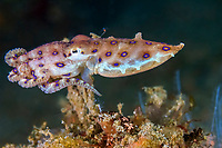 blue-ringed octopus, Hapalochlaena sp., Bitung, Lembeh Strait, Sulawesi, Indonesia, Celebes Sea, Pacific Ocean