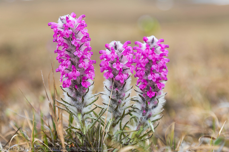 Wooly lousewort wildflowers on the tundra in the continental divide of the Brooks Range, Gates of the Arctic National Park, Alaska.