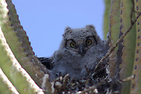 Young Great Horned Owl seen nested in a saguaro cactus in southern Arizona's, Saguaro National Park.