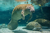 Florida Manatee (Trichechus manatus latirostris). Manatees seek the warm waters of the Three Sisters Springs to escape the cold winter temperatures. Crystal River,Florida.