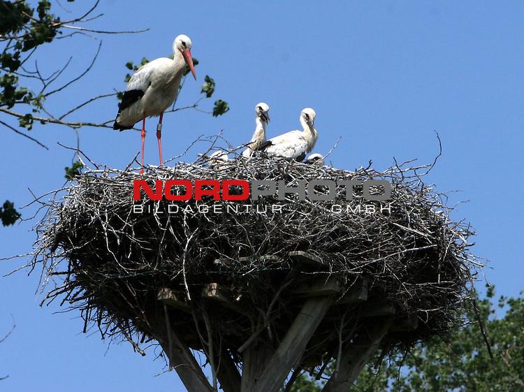 Stoerche am Duemmer See <br /> <br /> Huede, Duemmer See. Im Hueder Ochsenmoor brueten Stoerche. Waehrend 4 Jungstoerche im Nest auf Nahrung warten. Bewacht die Mutter (im Nest links) die Brutstaette, waehrend der Vater Nahrung f&uuml;r den Nachwuchs wie Froesche und Maeuse heranfliegt. <br /> <br /> Foto: &copy; nph (nordphoto)<br /> <br /> *** Local Caption ***