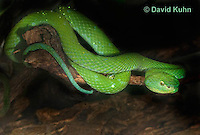 0429-1102  Mexican Palm Pitviper (Rowley's Palm Pit Viper), Very Rare Mexican Snake, Bothriechis rowleyi  © David Kuhn/Dwight Kuhn Photography