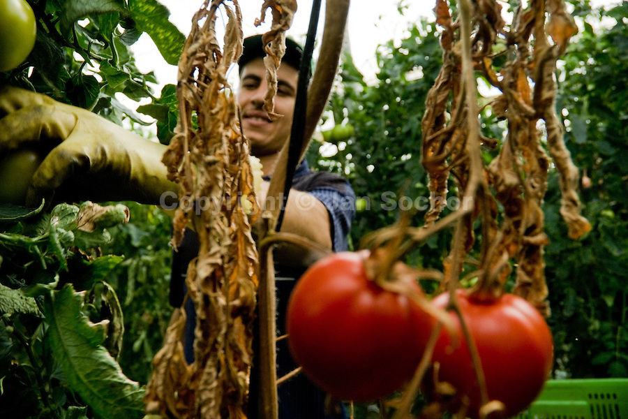 A Moroccan immigrant worker picks tomatoes in the greenhouse of El Ejido, Spain, 22 May 2007. El Ejido, a dry region on the coast of Andalusia, has changed during the last decades into the centre of vegetable production not only for the Spanish market. A half of Europe is supplied by tomatoes, peppers and melons from El Ejido. This economic miracle is from a major part based on a cheap labor force of illegal immigrants from Maghreb and Subsaharian Africa. Tens of thousands of workers keep the plastic sea of greenhouses running for the minimum wage of 30 Euros a day.