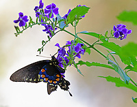Female pipevine swallowtail