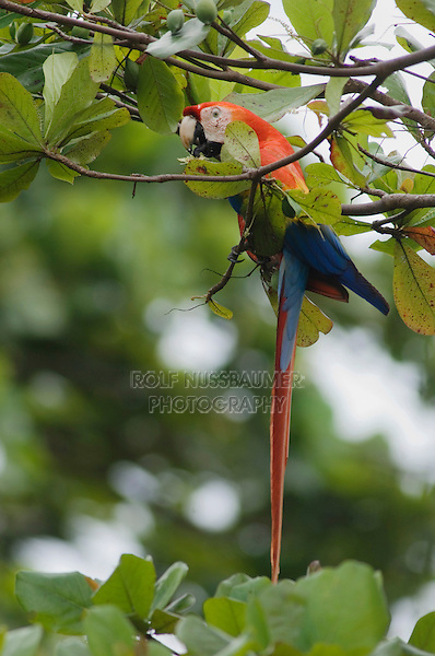 Scarlet Macaw, Ara macao, adult eating fruit from Almond tree, Tarcol, Central Pacific Coast, Costa Rica, Central America, December 2006