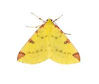 Brimstone Moth - Opisthographis luteolata - 70.226 (1906)