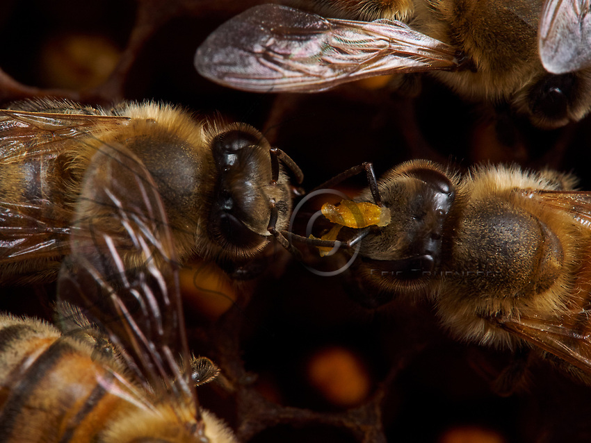 A stock keeping bee identified by the grain of pollen on its head. The stock keepers stuff the fresh pollen into the cells for its transformation into bee bread.<br /> Une abeille magasini&egrave;re identifi&eacute;e par un grain de pollen sur sa t&ecirc;te. Les magasini&egrave;res tassent le pollen frais dans les cellules pour sa transformation en pain d&rsquo;abeille.