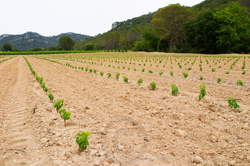 Domaine de l'Hortus. Pic St Loup. Languedoc. Young vines. First year vines recently newly planted. Terroir soil. France. Europe. Vineyard. Sand.