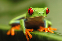 Costa Rican Red-Eyed Tree Frog.(Agalychnis calidryas).The Red-Eyed Tree Frog is located in Southern Mexico, Central.America including but not limited to Costa Rica, Honduras and.Panama, and northern South America...