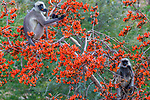 Black-faced langurs (Semnopithecus entellus) eat from a palash or Flame-of-the-Forest tree (Butea monosperma), Jawai, Rajasthan, India<br />