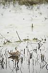 Columbia Ranch, Brazoria County, Damon, Texas; a Wilson's Snipe (Gallinago delicata) bird near the edge of the slough by the turf farm