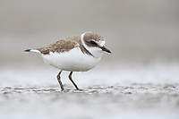 Kentish Plover (Charadrius alexandrinus). Rudong, China. October.