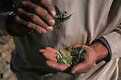 Peru. Man holding coca leaf, which is commonly chewed as a medicinal plant to stave off hunger and to combat altitude sickness.