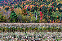 Autumn field of corn ready for harvest, Wallingford, Vermont, USA.