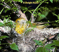 WB07-022z  Yellow Warbler with nesting material in beak, Dendroica petechia aestiva [aestiva group]