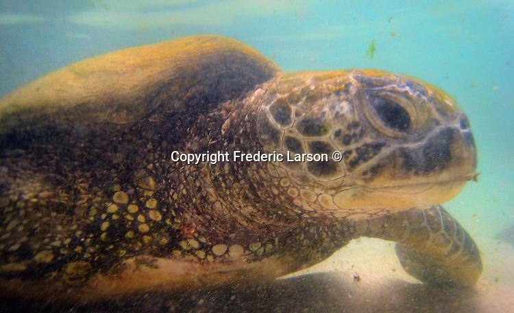 A sea turtle found off Kailua Beach of Oahu, Hawaii.